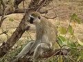 Black faced vervet monkey Chlorocebus pygerythrus in Tanzania 0741 Nevit.jpg