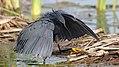 Black heron, Egretta ardesiaca, at Marievale Nature Reserve, Gauteng, South Africa. (26200034688).jpg