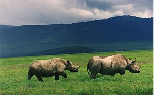 Black rhinoceros - Black rhinos in Ngorongoro crater, Tanzania