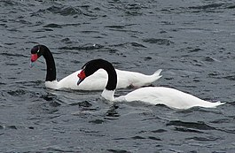 Blackneck swan pair hornopiren chile feb 2010.jpg