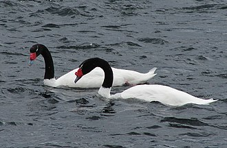 Black-necked swan - Image: Blackneck swan pair hornopiren chile feb 2010
