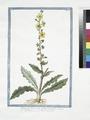 Blattaria lutea, folio oblongo, laciniato - Blattaria - Herbe aux mites (NYPL b14444147-1125086).tiff