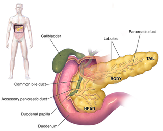 Pancreas glandular organ in the digestive system and endocrine system of vertebrates