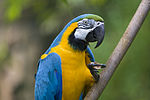 Blue-and-yellow Macaw (Ara ararauna) -9.jpg