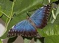 Blue Butterfly 1a (4866596377).jpg