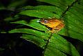 Blue eyed bush frog at Bisle.jpg