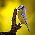 Blue tit (23128739150).jpg