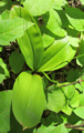 Bluebead-Lily-leaves.png