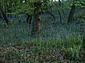 Bluebells near Great Rock - geograph.org.uk - 1299776.jpg