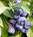 Blueberries on branch.jpg