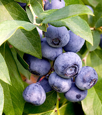 English: Blueberries.