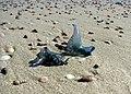 Bluebottle jellyfish on Bherwerre Beach.jpg