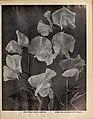 Boddington's quality bulbs, seeds and plants (15932328215).jpg