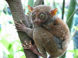 Tarsier - Philippine tarsier (Carlito syrichta), one of the smallest primates.