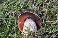 Boletus.erythropus2.-.lindsey.jpg