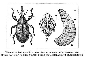 Boll weevil - The cotton boll weevil: a, adult beetle; b, pupa; c, larva
