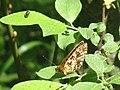 Boloria selene - Small pearl-bordered fritillary - Перламутровка селена (41099510932).jpg