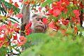 Bonnet macaque eating Delonix regia flowers (23062438806).jpg