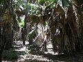 Borassus aethiopum 0091.jpg
