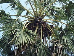 Borassus flabellifer fruit on the tree.JPG