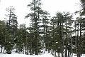 Bosque de cedros, montes del Atlas, Ifran.jpg