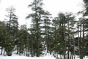 Bosque de cedros, montes del Atlas, Ifran