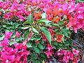 Bougainvillea glabra of Bangladesh 11.jpg