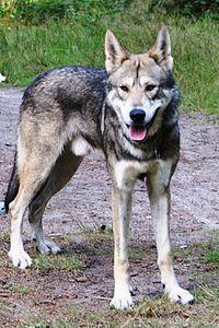 Cão Lobo Wikipédia A Enciclopédia Livre