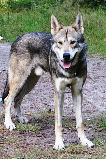 Films featuring Alaskan wolves usually employ domesticated wolf-dog hybrids to stand in for wild wolves. Bow bow.jpg