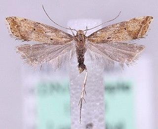 <i>Brachmia</i> Genus of moths