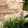 Brachypodium pinnatum-(dkrb)-1.jpg