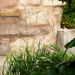 Brachypodium pinnatum - Blooming next to low garden wall