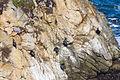 Brandt's Cormorants (23394799741).jpg