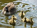 Branta canadensis -Fairlands Valley Park, Stevenage, England -family-8a.jpg