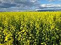Brassica rapa (7490648454).jpg
