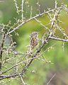 Brewer's Sparrow (14104689764).jpg