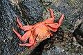 Bright red and orange crab on rocks 01.jpg