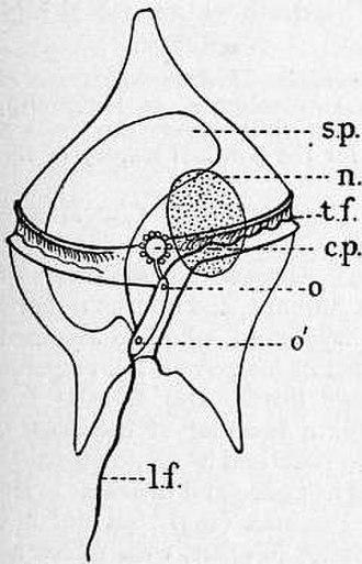 Dinoflagellate - Longitudinal (l.f.) and transverse flagellum (t.f.); sack pusule (s.p.); nucleus (n).