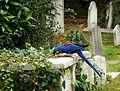 Brompton Cemetery - Parrot and Gravestones.jpg