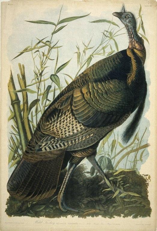 Brooklyn Museum - Wild Turkey - John J. Audubon