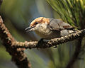 Brown-headed Nuthatch Auburn University Fisheries Unit Ponds, Alabama.jpg