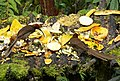 Brown Sicklebill . Epimachus meyeri, females (48885368123).jpg