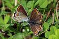 Brown argus butterflies (aricia agestis) 5 of 5 courtship.jpg
