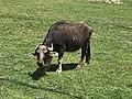 Bubalus bubalis - Water buffalo 01.jpg
