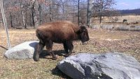 A young bison walking between rocks in a meadow