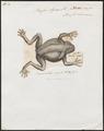 Bufo agua - 1700-1880 - Print - Iconographia Zoologica - Special Collections University of Amsterdam - UBA01 IZ11500173.tif