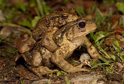 Амплексус тайваньских жаб