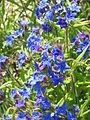 Buglossoides purpurocaeruleum02.jpg
