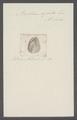 Bullaea aperta - - Print - Iconographia Zoologica - Special Collections University of Amsterdam - UBAINV0274 081 05 0003.tif