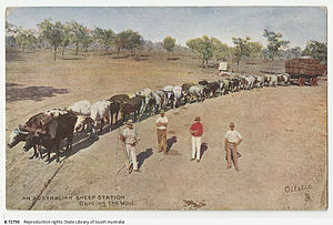 Bullocky - A colour postcard printed of a team of 16 bullocks carting a large load of wool ca. 1909.